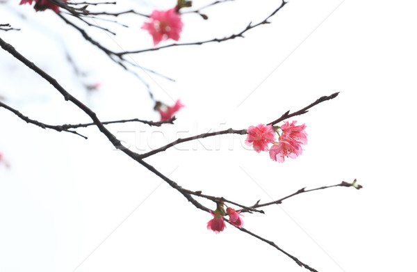 Sakura japanese cherry blossoms Stock photo © leungchopan