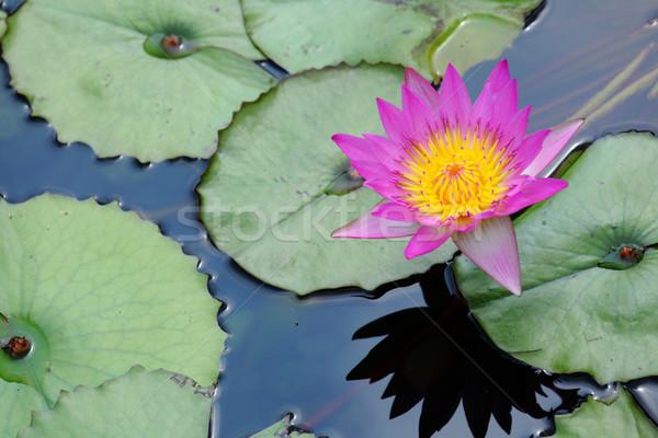waterlily Stock photo © leungchopan