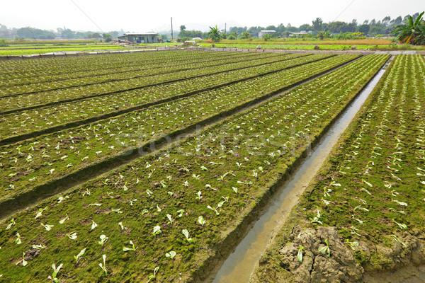 farm field Stock photo © leungchopan
