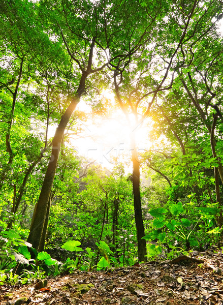 Morning sunbeam shine through green forest Stock photo © leungchopan