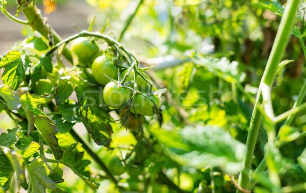 Green tomato Stock photo © leungchopan