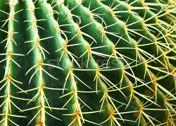 Kaktus liści ogród pustyni ziemi piasku Zdjęcia stock © leungchopan