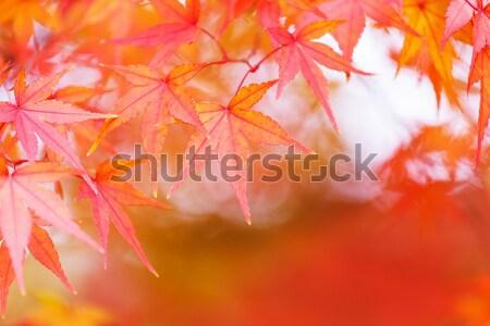 Maple tree in autumn Stock photo © leungchopan
