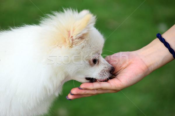 feed the dog Stock photo © leungchopan