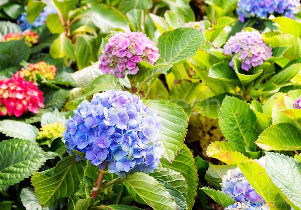 Hydrangea flowers  Stock photo © leungchopan