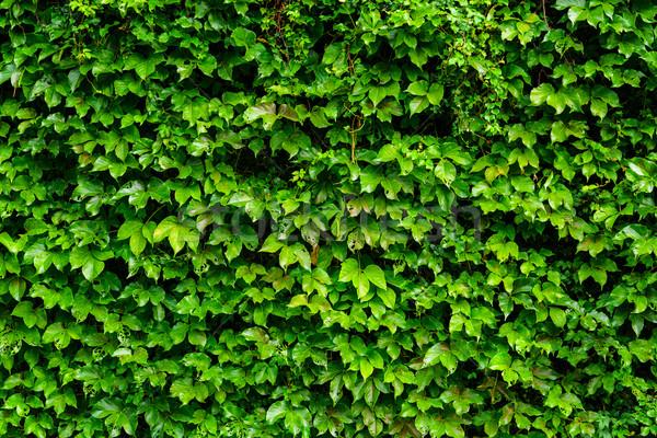 Sarmaşık duvar arka plan yeşil Stok fotoğraf © leungchopan