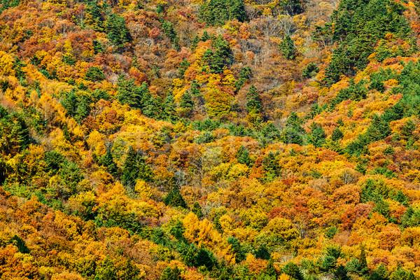 Autumn forest Stock photo © leungchopan