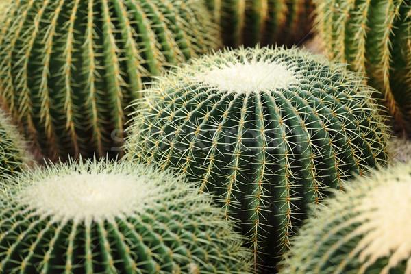 Сток-фото: кактус · воды · лист · саду · пустыне · земле