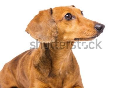 ダックスフント 犬 見える サイド ストックフォト © leungchopan