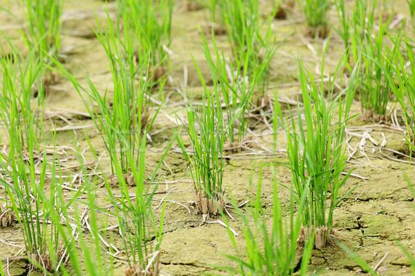 Photo stock: Vert · semis · croissant · sur · sol · nature