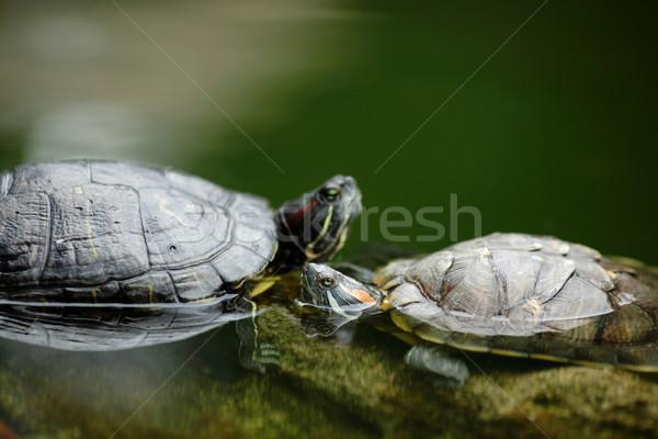 turtle chatting Stock photo © leungchopan