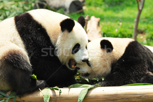 panda playing Stock photo © leungchopan