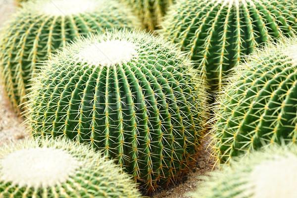 Kaktusz terv kert sivatag Föld homok Stock fotó © leungchopan