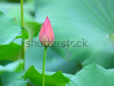 lotus bud Stock photo © leungchopan