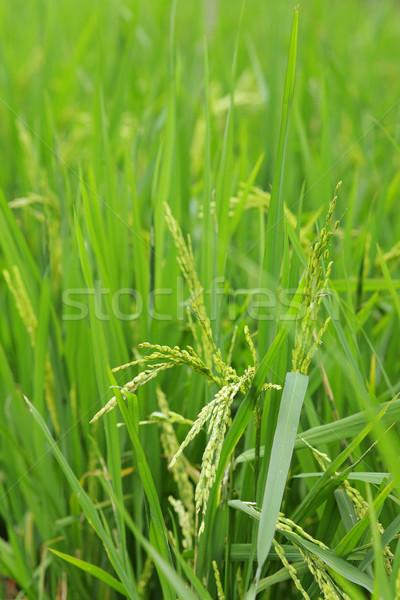 green paddy rice Stock photo © leungchopan