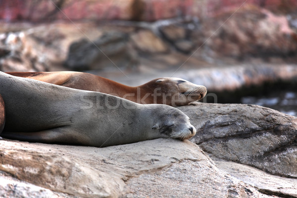 sea lion sleeping Stock photo © leungchopan