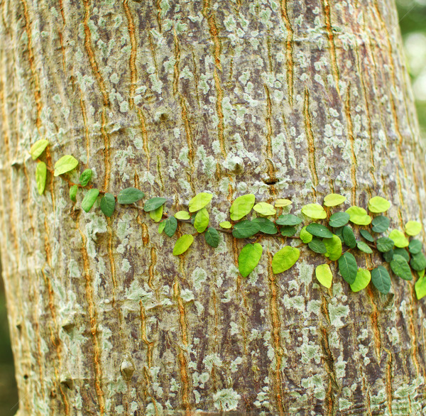 Borostyán fa ugatás természet levél háttér Stock fotó © leungchopan