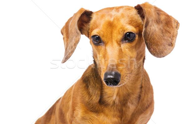 Tacskó kutya haj portré élet állat Stock fotó © leungchopan