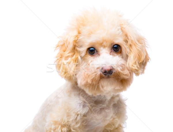 коричневый пудель портрет собака фон игрушку Сток-фото © leungchopan