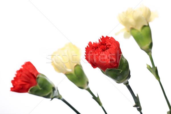 Clavel flor madre día feliz resumen Foto stock © leungchopan