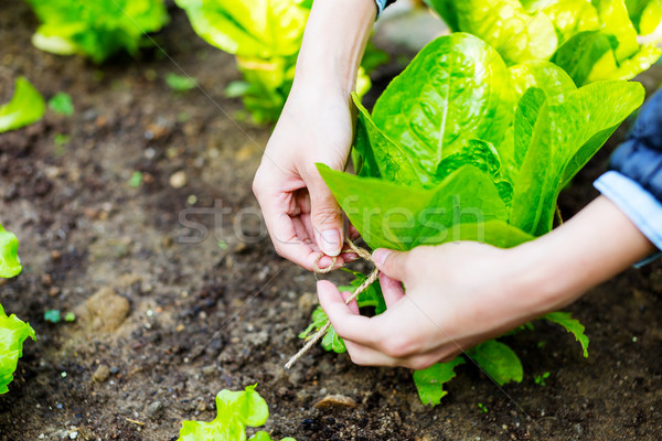 Stock photo: Agriculture of lettuce