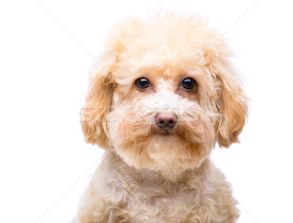 Poodle dog Stock photo © leungchopan