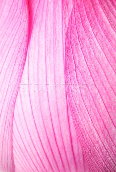 Pink lotus close up Stock photo © leungchopan