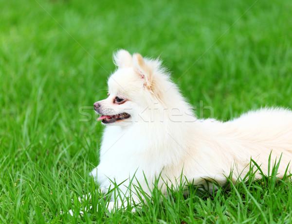 White Pomeranian dog sitting on the grass Stock photo © leungchopan