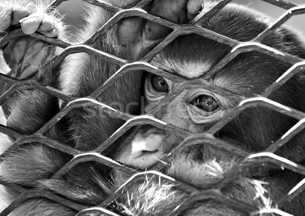 悲しい 猿 ケージ 顔 自然 髪 ストックフォト © leungchopan