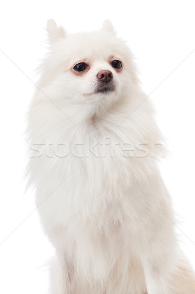 White pomeranian portrait Stock photo © leungchopan