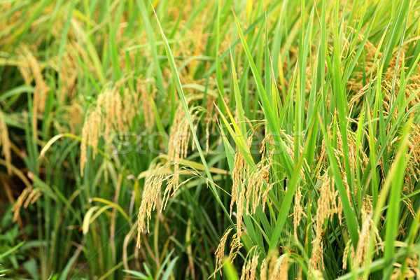 paddy rice field Stock photo © leungchopan