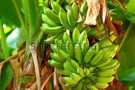 Banaan boom voedsel natuur vruchten tuin Stockfoto © leungchopan