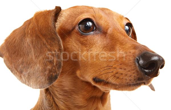 Teckel chien isolé blanche animaux coupé Photo stock © leungchopan