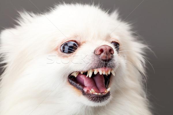 White pomeranian dog barking Stock photo © leungchopan