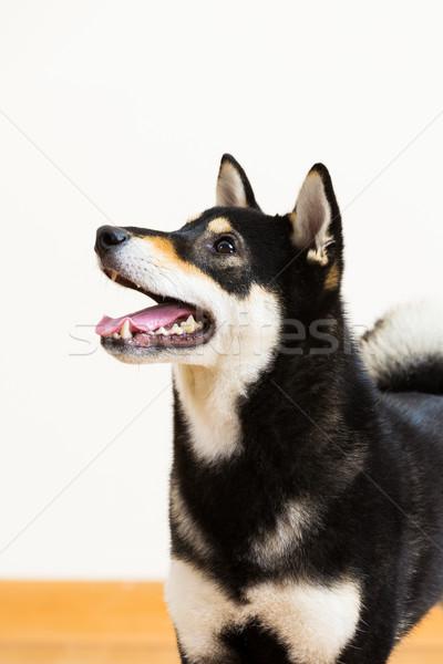 Nero lato profilo cane felice ritratto Foto d'archivio © leungchopan