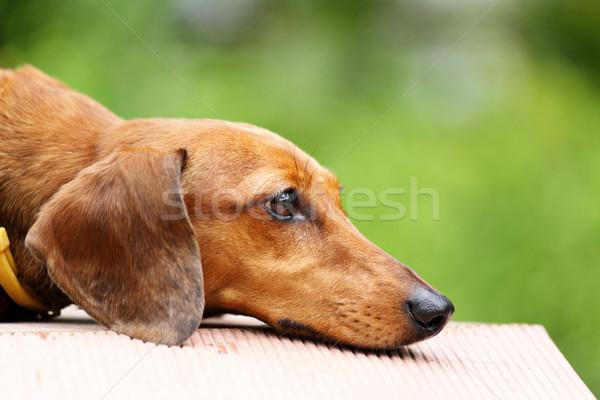 Сток-фото: такса · собака · трава · молодые · животного · луговой