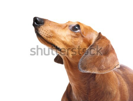 Dachshund Dog Stock photo © leungchopan