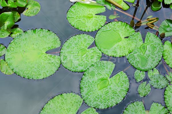 lotus leaf Stock photo © leungchopan
