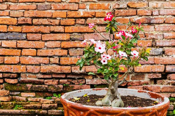 Flor-de-rosa antigo parede de tijolos parede natureza vermelho Foto stock © leungchopan