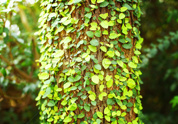 Klimop boom schors natuur blad achtergrond Stockfoto © leungchopan