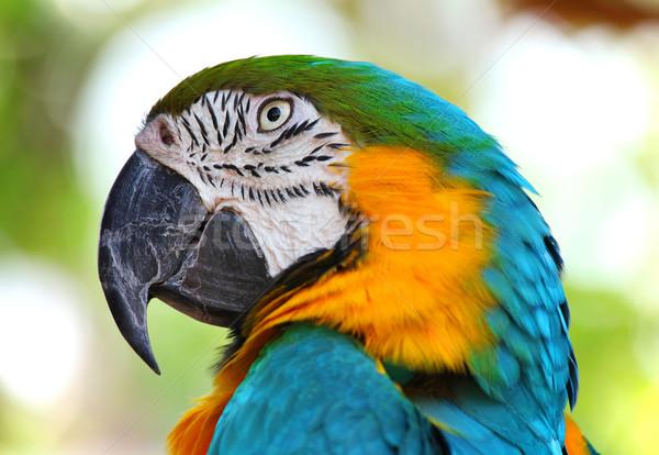 coloured Macaw parrot Stock photo © leungchopan