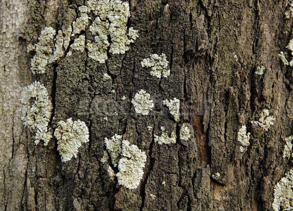Lichen on wood surface Stock photo © leungchopan