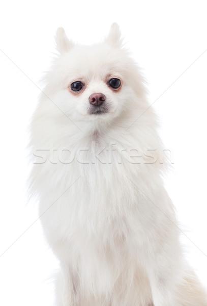 Pomeranian pet dog Stock photo © leungchopan