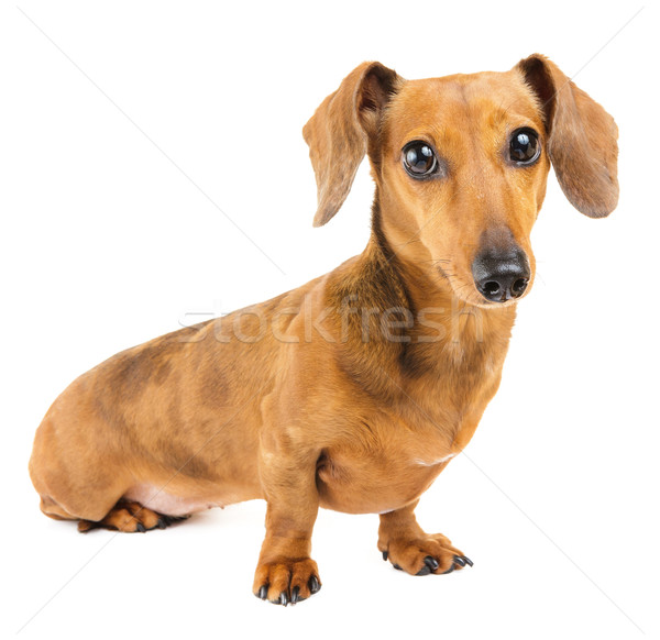Dachshund perro cachorro mascota Foto stock © leungchopan