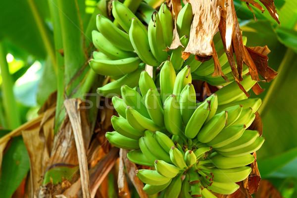 Green banana tree Stock photo © leungchopan