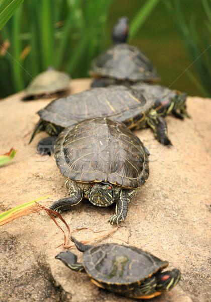 some tortoises Stock photo © leungchopan