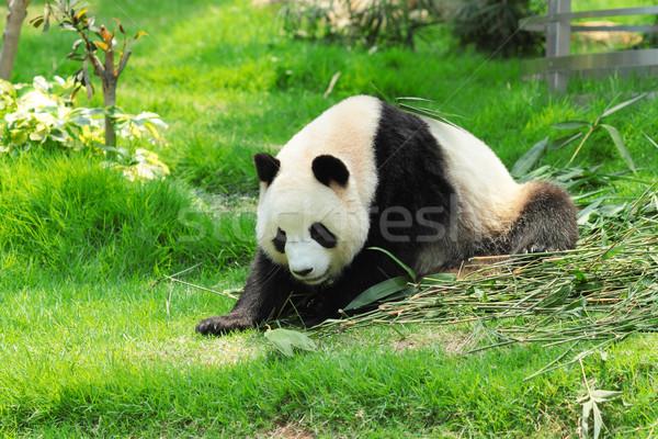 panda Stock photo © leungchopan
