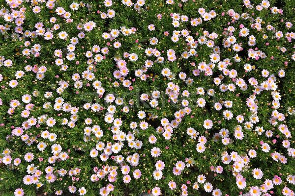 Champ de fleurs nature beauté domaine espace vert Photo stock © leungchopan