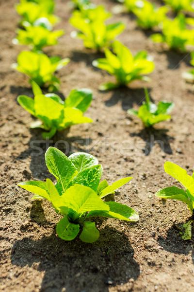 Сток-фото: молодые · салата · области · весны · лист · саду