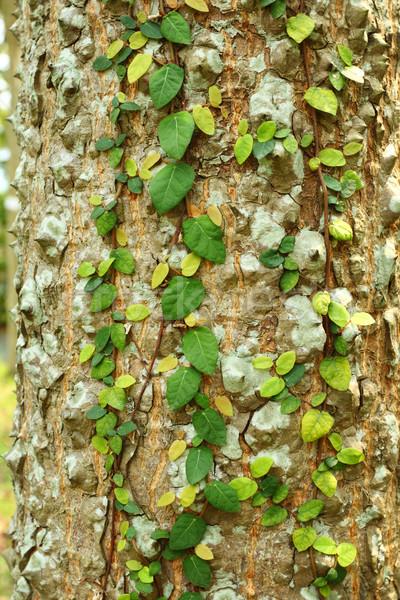 Ivy albero corteccia natura foglia sfondo Foto d'archivio © leungchopan
